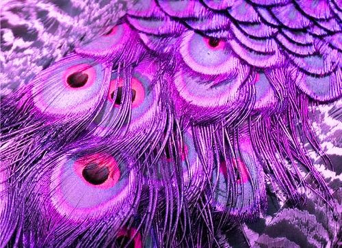 Purple Peacock Feathers