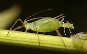 Aphids as a vector of plant diseases
