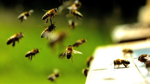 Image for The flight of the honeybee