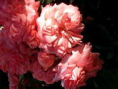 roses, 23 juin 2005