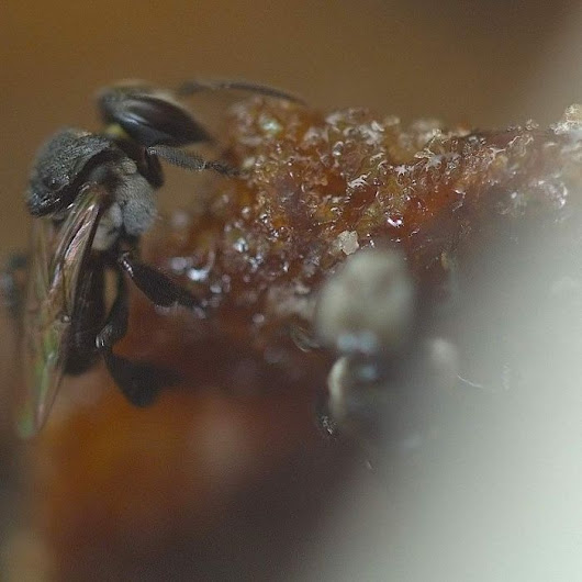 Native stingless bee program has Sydney residents buzzing