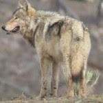 _72187361_graywolf