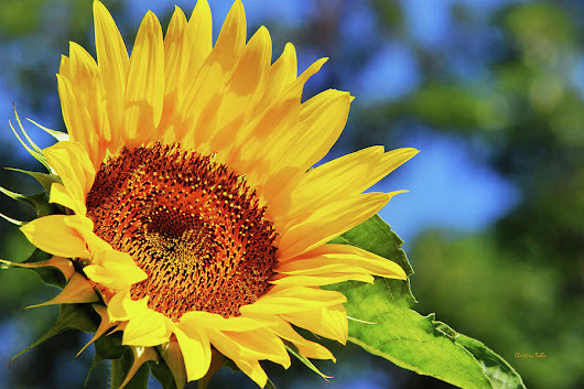 Color Me Happy Sunflower by Christina Rollo