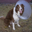 Dog after Neutering | Border Collie Help