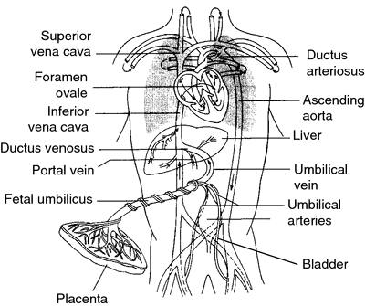 Fetal circulation | definition of fetal circulation by ...
