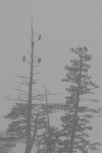 eagles-trees-snow