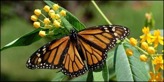 Protect Monarch Butterflies from Monsanto - The Petition Site