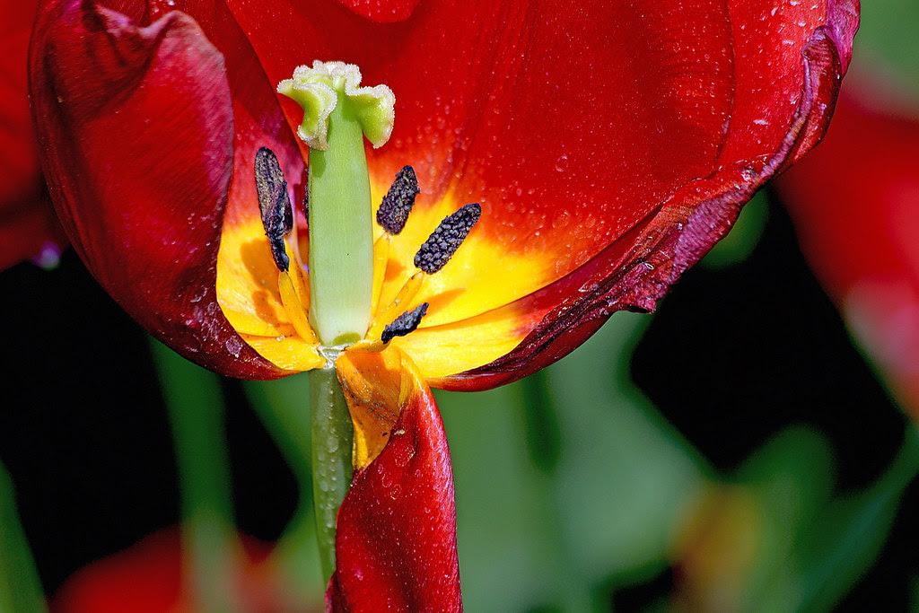 la curiosidad humana, aún antes de su día, mató al tulipán
