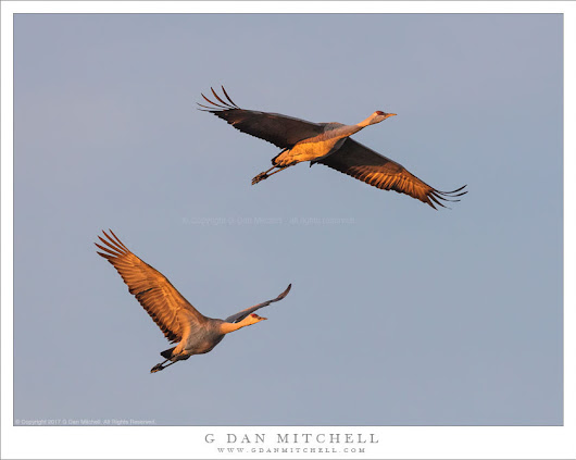 Sandhill Cranes in Flight, Dawn