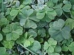 SunOfErat's photo of 4-leaf and 5-leaf clovers