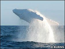 Migaloo (Daniel Burns, Southern Cross University Whale Research Centre)