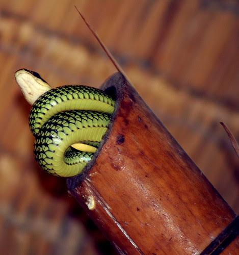 snake in the villa