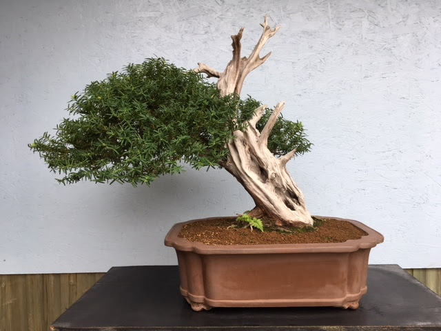 Devon Bonsai Springfield Bonsai Nursery
