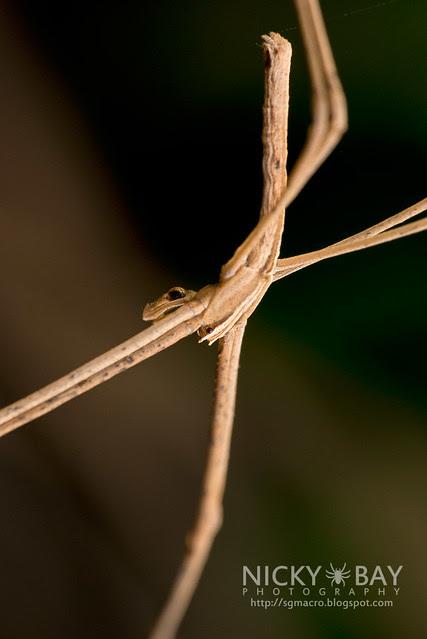 Net-Casting Spider (Deinopis sp.) - DSC_1698