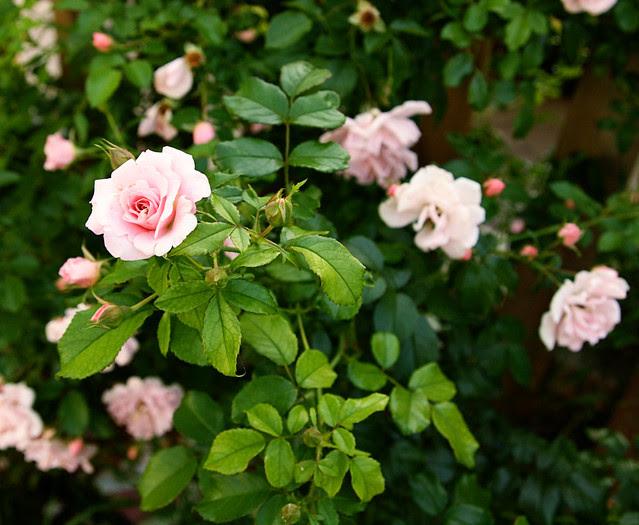 pinkroseshrub