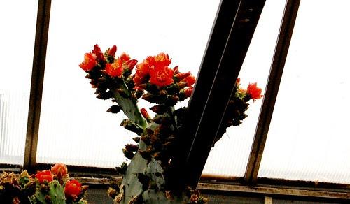 Cactus en flor I DSC_0375