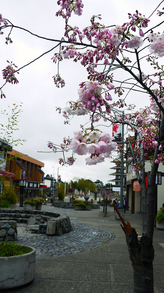 cherry blossom japantown 1