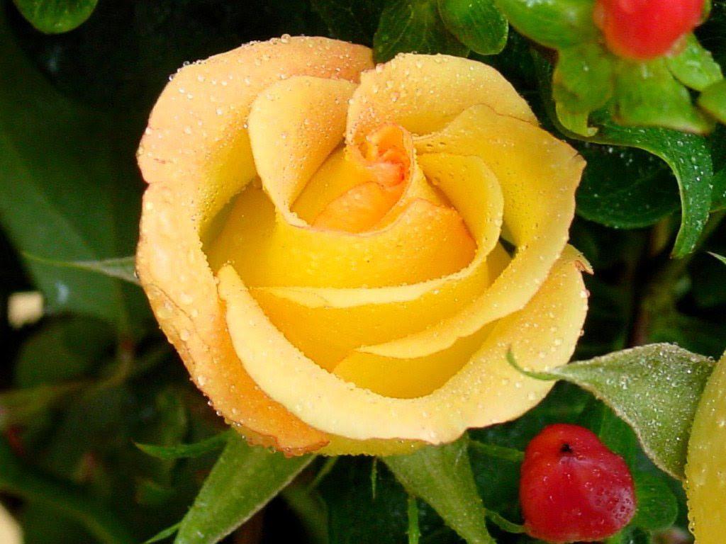 Rosa Amarilla Hd Imágenes Y Fotos