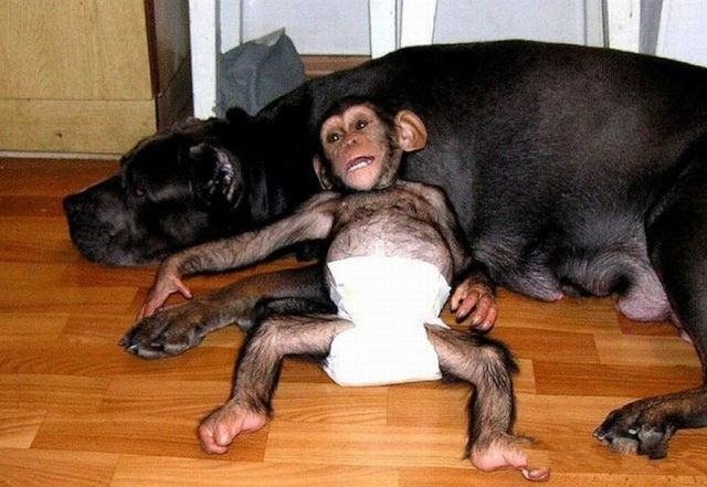 Little Chimpanzee Found a New Family