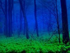 The Mayapple Forest