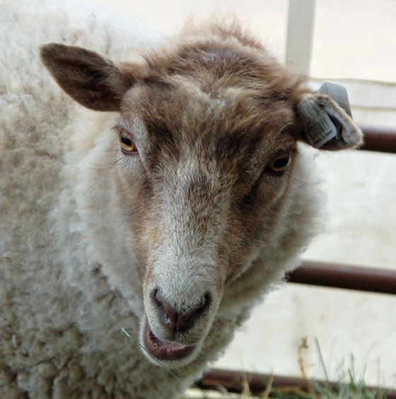 5tagged-sheep.jpg