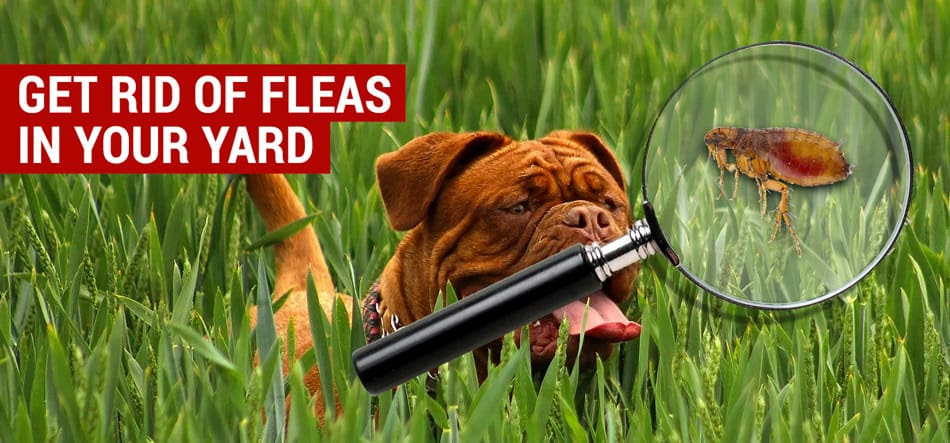 How to Get Rid of Fleas in Your House and Yard Naturally ...