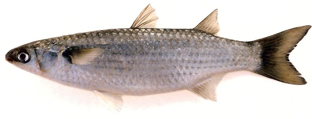 كيف تقوم بتمليح السمك في المنزل