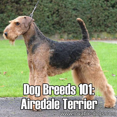 Lovable Dogs Dog Breeds 101: Airedale Terrier!  Lovable Dogs
