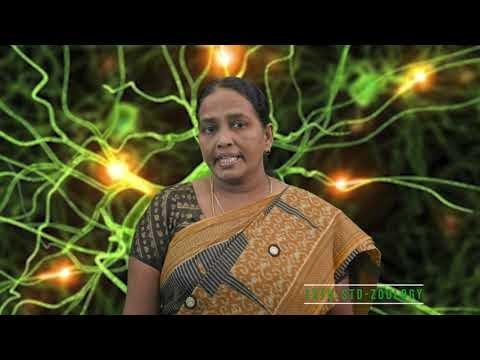 12th Zoology மனித இனப்பெருக்கம் Kalvi TV