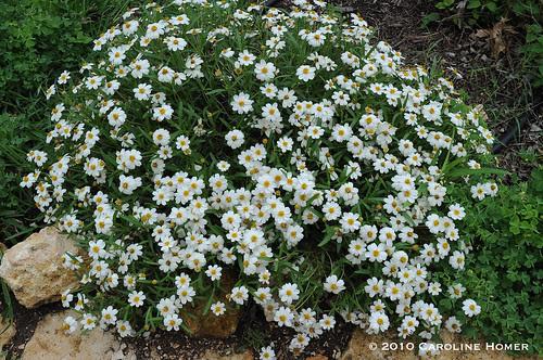 Blackfoot daisies