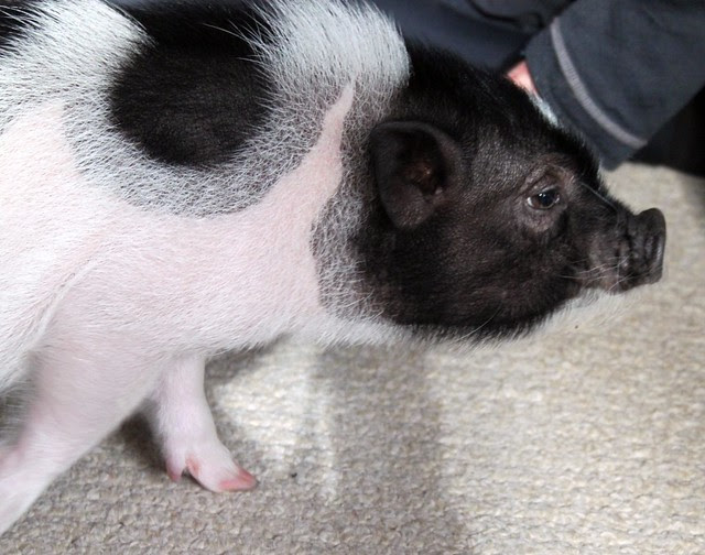 Abner our piggy friend -- he's getting big!