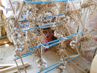 Hanging Garlic Plants