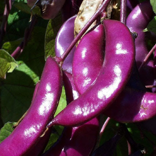 Hyacinth Bean Aspects And Its Medicinal Uses - Veggies Info | Veggies Info