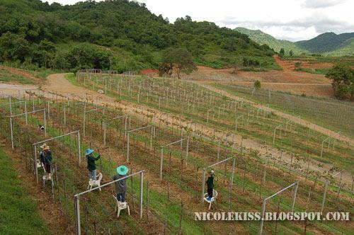 trimming grape vines