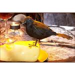 Feathered Raven - 19822 - White