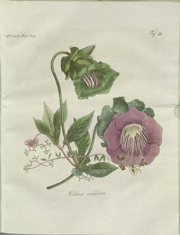 Cobbea scandens (hand-coloured botanical engraving courtesy kulturerbe niedersachsen)