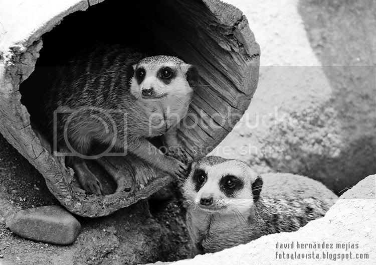 Fotografía de dos símpaticas suricatas sorprendidas en el Parque Zoológico de Madrid
