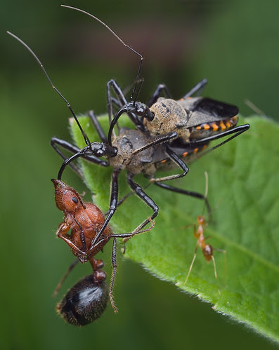 Food, sex and TV???....:D assassin bugs mating and eatingIMG_4897 merged copy