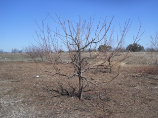 Another Fruit Tree After Pruning