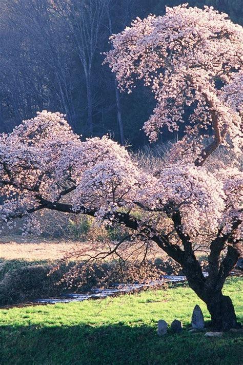 fonds decran paysage japonais la fleur de cerisier