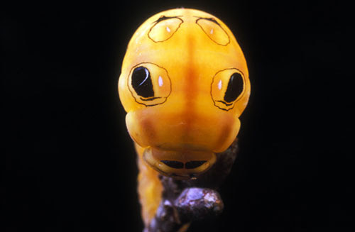 spicebush swallowtail caterpillar 20 Species You Dont Want To Meet