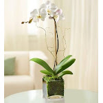 Flower Delivery by 1-800 Flowers Elegant Orchid White Plant