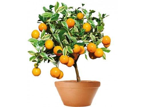 Kumquat Tree 50 Cm Studio 84 Florist