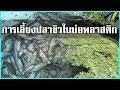 วิธีเลี้ยงปลาซิว ในบ่อพลาสติก