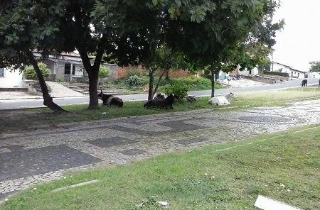Caxias: Animais soltos transformam praça pública em curral a céu aberto