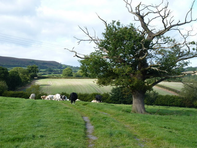 Grazing Land And An Unhealthy Oak Tree Richard Law