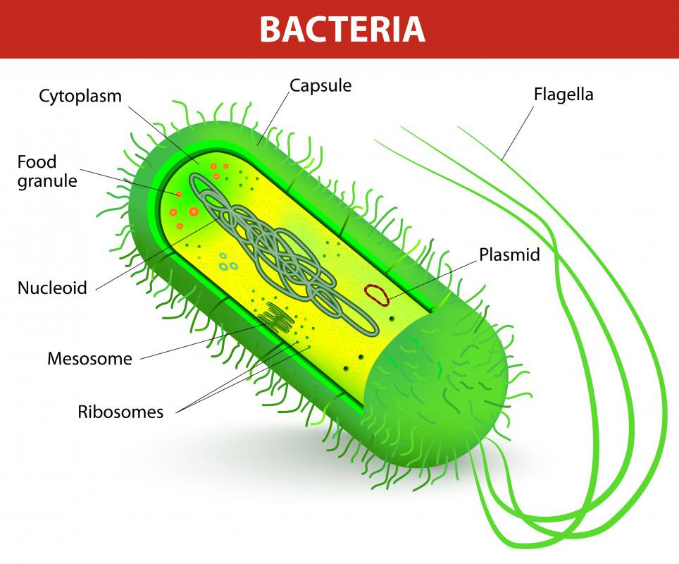 What are Recombinant Bacteria? (with pictures)