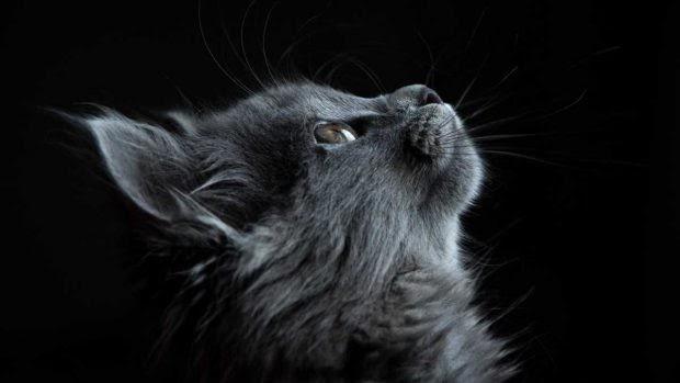 Muda de pelo en los gatos