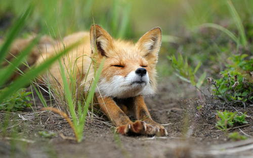 isawatree:  Stretching fox. by  Igor Shpilenok  GOOD MORNING! READY FOR THE DAY.