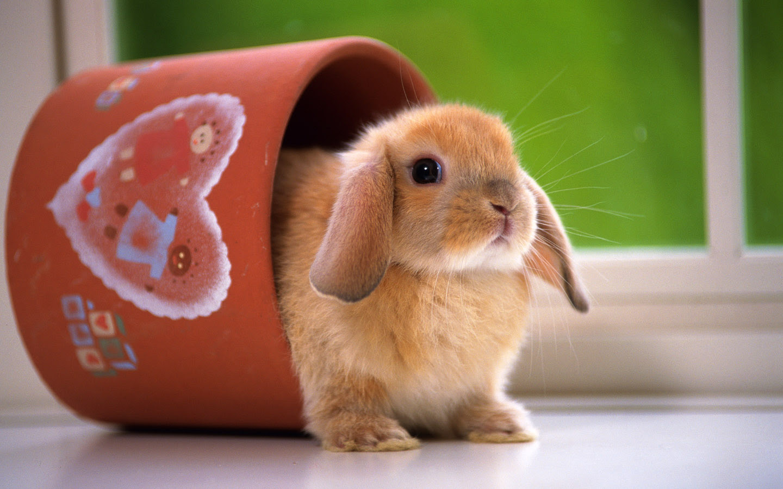動物壁紙 無料ダウンロード かわいいウサギ